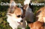 Der Hund, auch ein Chihuahua ist der �lteste Freund des Reiters und Begleiter der Pferde